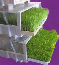 Large trays of wheatgrass and red clover