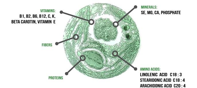 Chlorella Diagram The ...